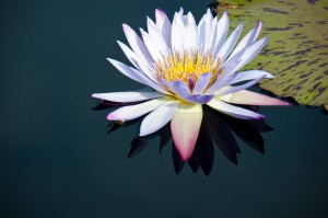 Water Lily on calm water